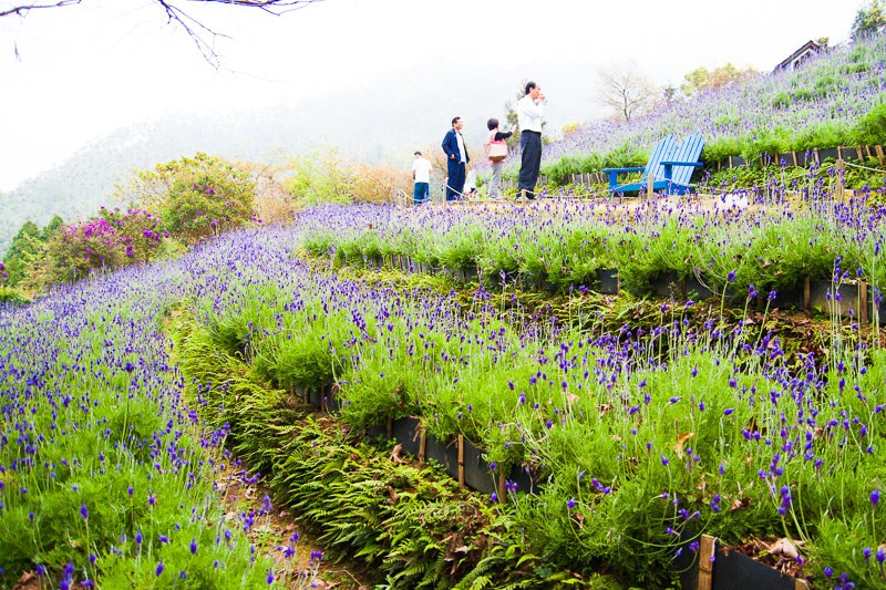 Lavender Cottage at Taichung, Taiwan