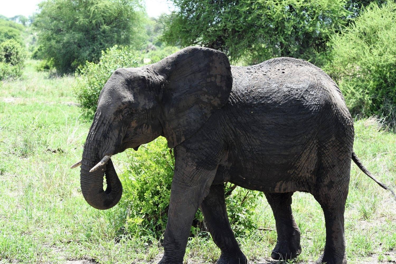 Kilimanjaro National Park elephant